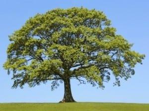 The Oak In Spring